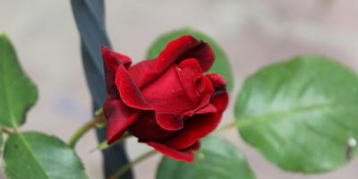 Мои розы. Ред рамблер