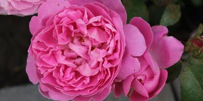 Мои розы. Мэри роуз