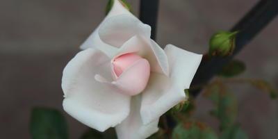 Мои розы. Нью Даун