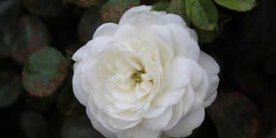 Мои розы. Пикси