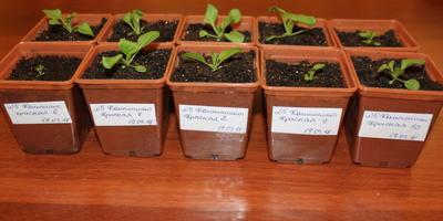Комплиментуния Красная F1. IV этап. Развитие растений и уход за ними