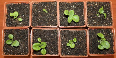 Комплиментуния мятный лайм F1. IV этап. Развитие растений и уход за ними