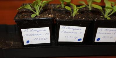 Петуния Татьяна F1. IV этап. Развитие растений и уход за ними