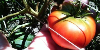 Аджика с помидорами и яблоками