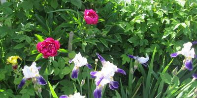 Июньские краски: ирисы