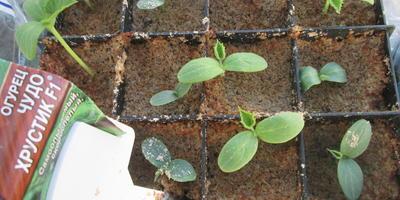 Огуречная история, или Как я выращиваю огурцы
