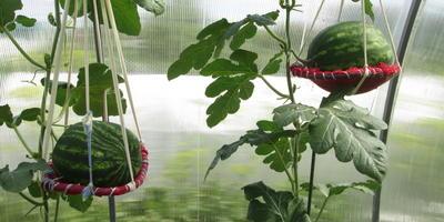 С любовью об арбузах в моем огороде