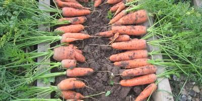 Морковь, пришла твоя пора!