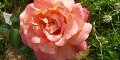 Вопрос к обладателям розы Глория Дей: какого цвета были первые цветы?