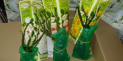 Жизнестойкие розы из Сибири от Seedspost