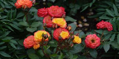 Розы нашего сада. Часть 2. Патио