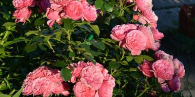 Розы нашего сада. Часть 3. Леонардо да Винчи