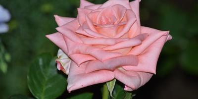 Розы нашего сада. Часть 4. Башкирки 2013