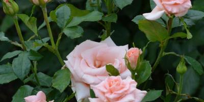 Розы нашего сада. Часть 5. Башкирки 2014