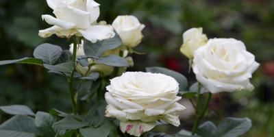 Розы нашего сада. Часть 6. Башкирки 2015