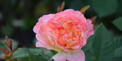 Розы нашего сада. Часть 7. Башкирки и Тантау 2016