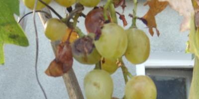 Осы пожирают гроздья винограда, ягоды чернеют и осыпаются. Что делать?