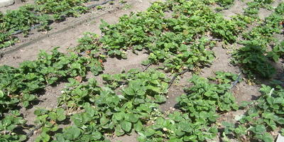 Как мы рассаживаем клубнику