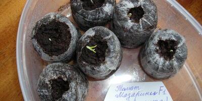 Тестирование семян Аэлита. Томат Мазарини F1. Тест на всхожесть