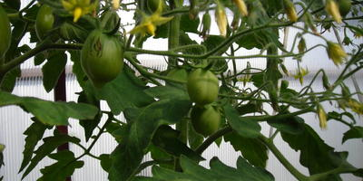 Томат Цитрусовый сад. 5 этап. Цветение