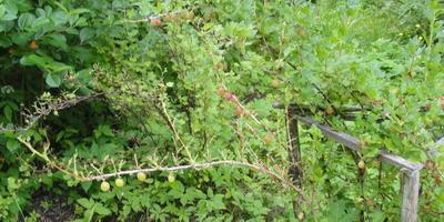 На ветвях крыжовника исчезают листочки, их кто-то съедает, хотя ягоды остаются. Что за вредитель?