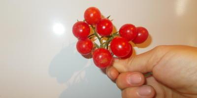 Что это за сорт томатов?