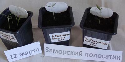 Баклажан Заморский Полосатик. Тест на всхожесть. Промежуточный результат
