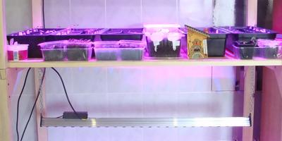 Баклажан Заморский полосатик - итоговый результат теста на всхожесть