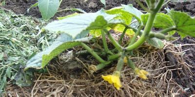 Закончилось тестирование семян от Аэлиты. Мои впечатления
