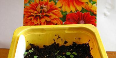 Рудбекия - мохнатое солнышко среди зелени огорода