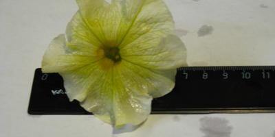 Комплиментуния лимонно-синяя F1. VI этап. Цветение