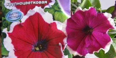 Петуния Ольга F1. VI этап. Цветение