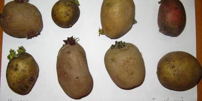 Домашняя работа №4. Здоровый картофель