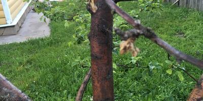 Помогите понять, что с яблоней?