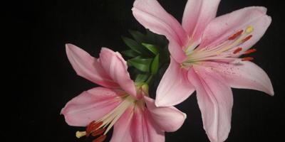 Сюрприз от лилии