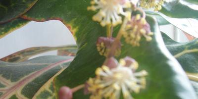 Кротон, оказывается, цветет...