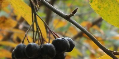 Черноплодная рябина: неприхотливая и полезная