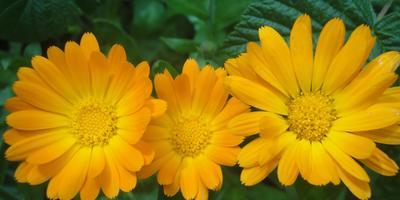 Календула – цветок без забот