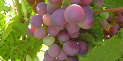 Курочка с виноградом