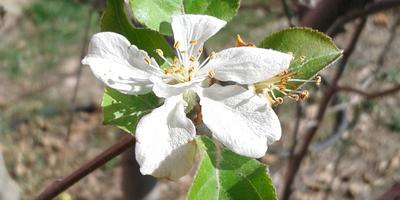 Повторно цветет яблоня... Что делать?