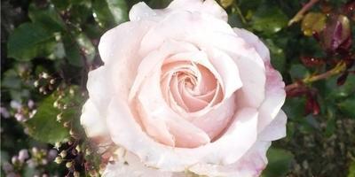 Кто может опознать красавицу-розу?