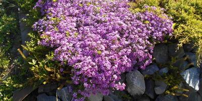 И на камнях растут... цветы...
