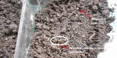 Петуния Александра F1. II этап. Всходы, появление настоящих листьев