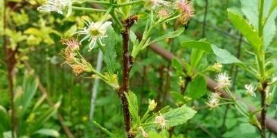 Могут ли дрозды склевать зачатки плодов вишни?