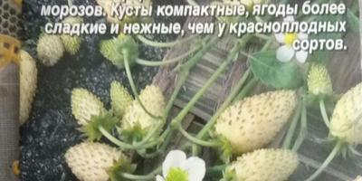 Как вырастить землянику из семян?