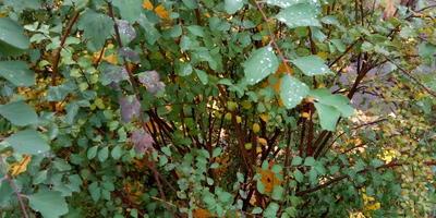 Помогите определить название кустарника. Как его можно размножить?