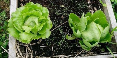 Кочанный салат Айсберг. Выращиваем в контейнере на балконе