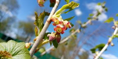 Можно как-то определить вид смородины по цветочкам?
