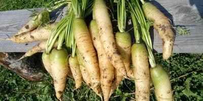 """Мои цветные овощи: белая морковь. Морковь """"Белый сахар"""""""