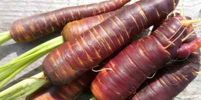 """Мои цветные овощи: разноцветная морковь. Морковь """"Пурпурный эликсир"""""""